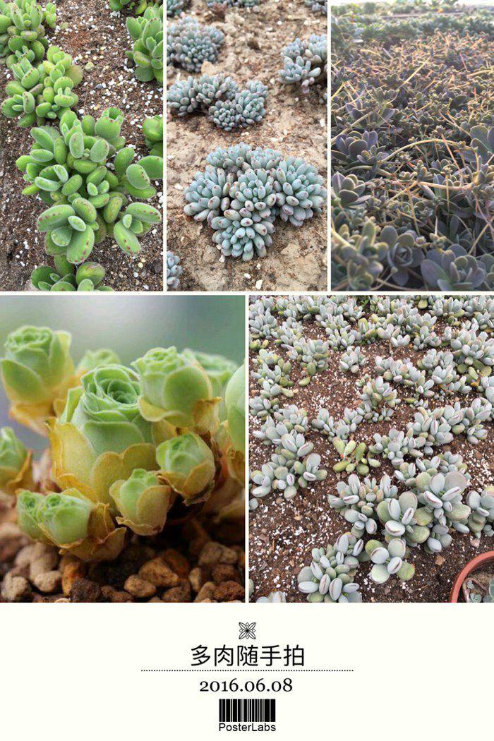 岁草<a href=http://suicao.com/life/ target=_blank class=infotextkey>多肉植物</a>花园 (10).JPG