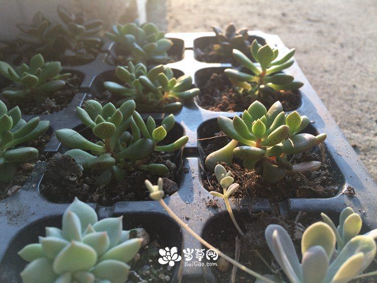 多肉植物 (9).JPG